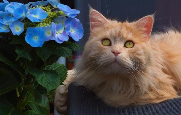 Картинка цветок, кот, взгляд, портрет, мордочка, гортензия, рыжий кот