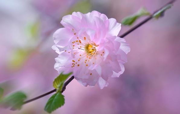 Картинка цветок, вишня, весна, лепестки, сад, сакура