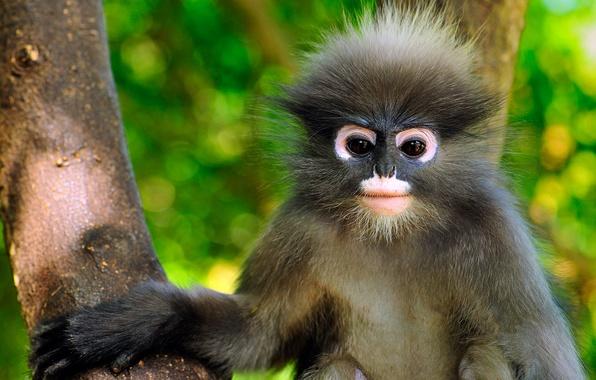 Картинка Таиланд, примат, очковый тонкотел, Khao Sam Roi Yot National Park