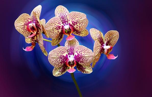 Картинка цветы, лепестки, орхидея