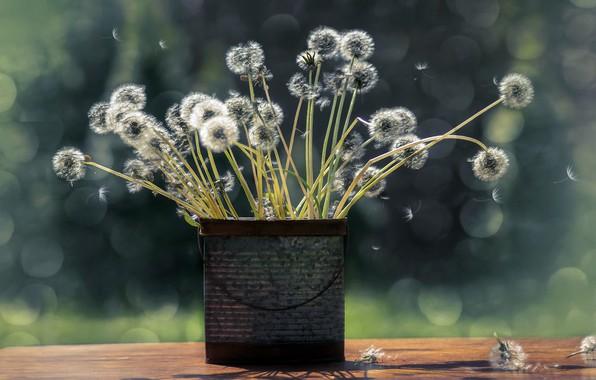 Картинка цветы, фон, одуванчики