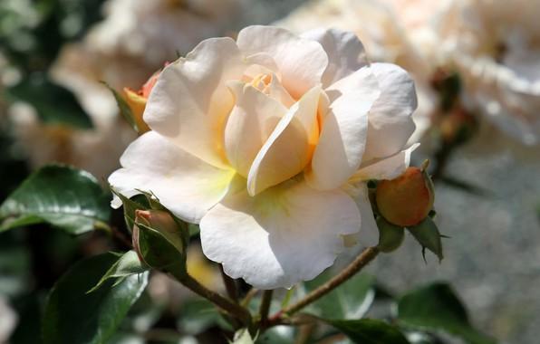 Картинка свет, роза, лепестки, белая