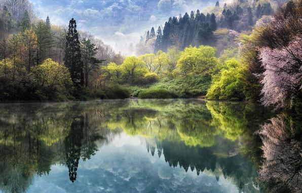 Картинка цветы, природа, туман, озеро, весна, сакура, дымка, Корея, дервья, Южная Корея, искусственный водоем, уезд Hwasun, ...
