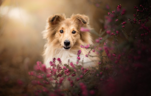 Картинка взгляд, морда, собака, боке, Шелти, вереск, Шетландская овчарка