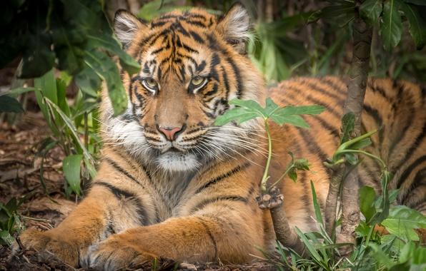 Картинка тигр, животное, хищник, шерсть, окрас, зверь