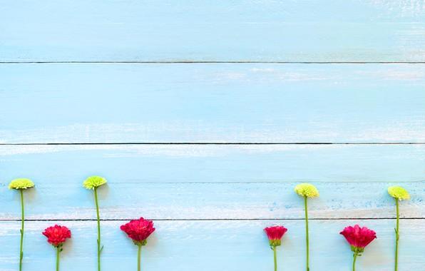 Картинка цветы, фон, дерево, доски, colorful, хризантемы, wood, texture, blue, flowers, background, wooden