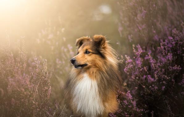 Картинка морда, собака, шерсть, Шелти, вереск, Шетландская овчарка