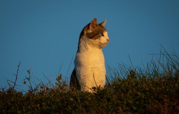 Картинка кошка, небо, трава, кот, фон, стойка, наблюдение, котейка