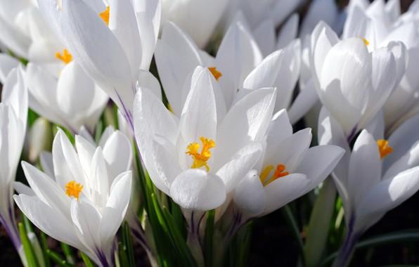 Картинка макро, радость, цветы, природа, нежность, красота, растения, весна, крокусы, первоцветы, дача, флора, шафран, луковичные, белоснежность