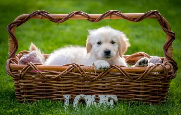 Фото обои трава, корзина, щенок, ретривер
