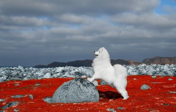 Картинка природа, камни, собака, Самоед