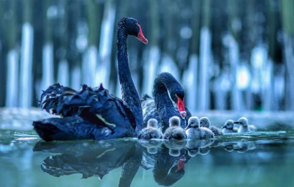 Картинка вода, птицы, отражение, пара, лебеди, птенцы, детёныши, выводок