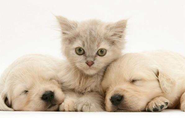 Картинка щенки, лабрадор, котенк