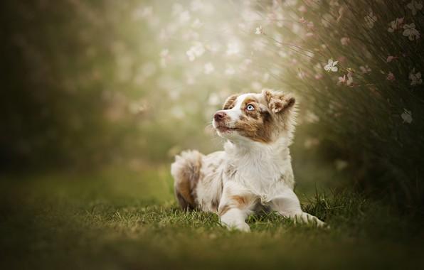 Картинка цветы, собака, боке, Австралийская овчарка, Аусси