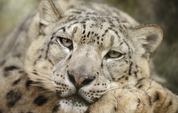Фото обои snow leopard, head, feline