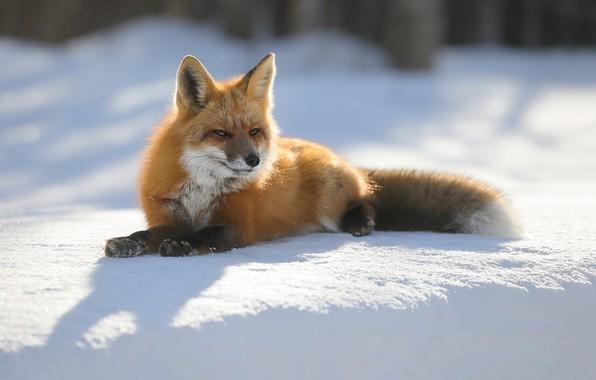 Картинка зима, солнце, природа, лиса, лежит, рыжая, лисица, боке, на снегу