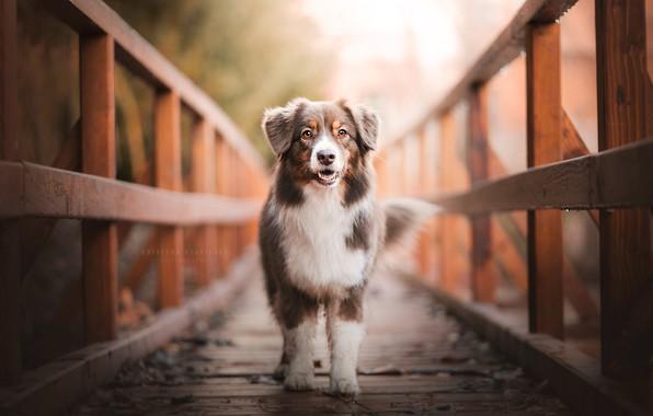 Картинка мост, собака, by KristynaKvapilova