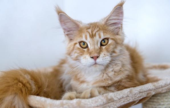 Картинка кот, рыжий, мейн-кун