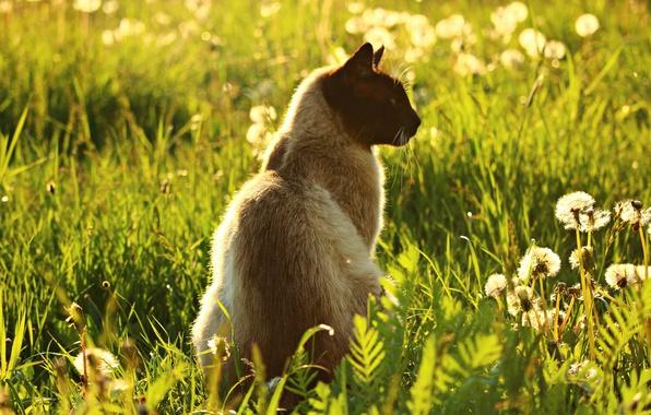 Картинка зелень, кошка, лето, трава, кот, свет, цветы, природа, тепло, поляна, луг, профиль, одуванчики, сидит, сиамский, …