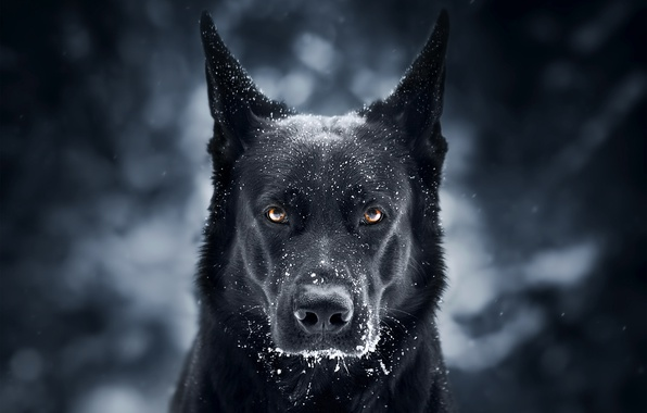 Картинка взгляд, морда, снег, фон, собака, Немецкая овчарка
