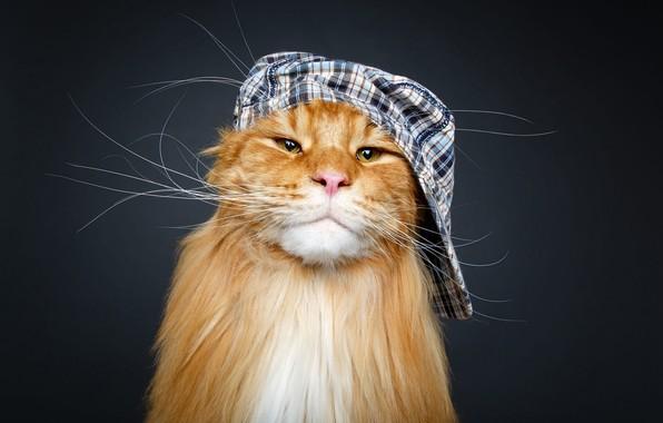 Картинка кот, усы, взгляд, морда, темный фон, фон, портрет, рыжий, кепка, фотосессия, котяра, котэ, крутой, мейн-кун, …