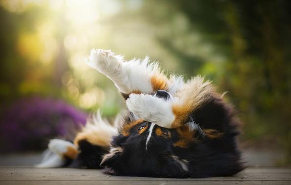 Картинка собака, лапы, нос, Chilli