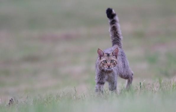 Картинка кошка, кот, взгляд, боке, хвост трубой