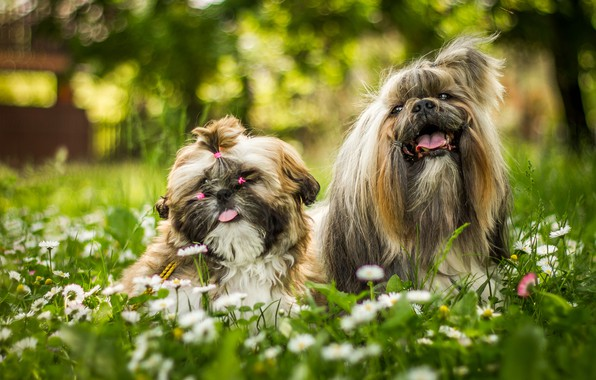 Картинка зелень, язык, собаки, лето, трава, цветы, парк, фон, настроение, поляна, две, ромашки, сад, луг, прическа, …