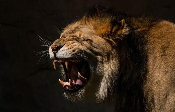 Картинка язык, морда, хищник, лев, пасть, грива, клыки, оскал, дикая кошка