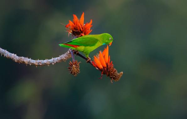 Картинка цветы, фон, птица, ветка, попугай, Эритрина, Весенний висячий попугайчик