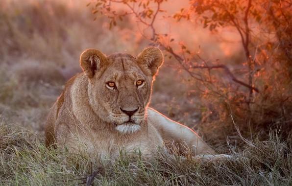 Картинка green, лев, grass, львица, nature, sunset, lion, lioness, rest, лев или львица
