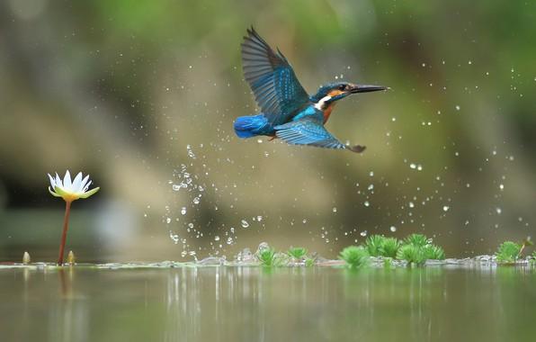 Картинка вода, полет, зимородок, водяная лилия, птицa