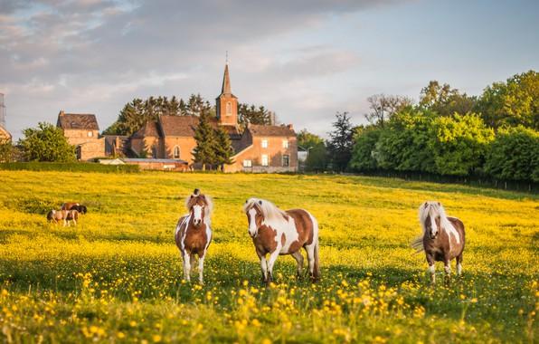 Картинка цветы, цветущий луг, лошади, кони, загород, настроение, поле, лужайка, желтые, пятнистые, воля, три коня, облака, ...