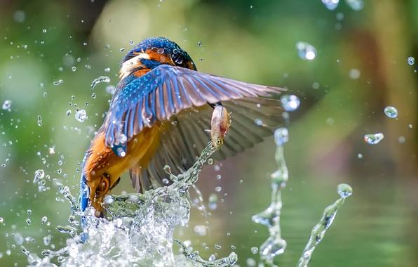 Картинка вода, брызги, птица, рыба, зимородок, улов, Kingfisher