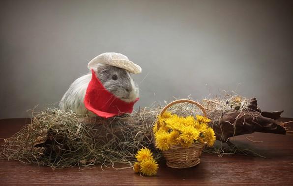 Картинка цветы, одуванчик, сено, Животное, Морская Свинка