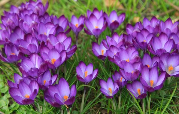 Картинка Цветы, Весна, Луг, Цветение, Крокусы