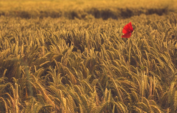 Фото обои поле, цветок, Мак, колосья, Пшеница