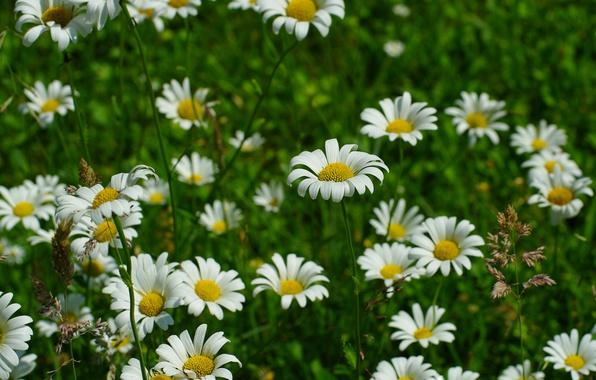 Картинка Трава, Весна, Ромашки