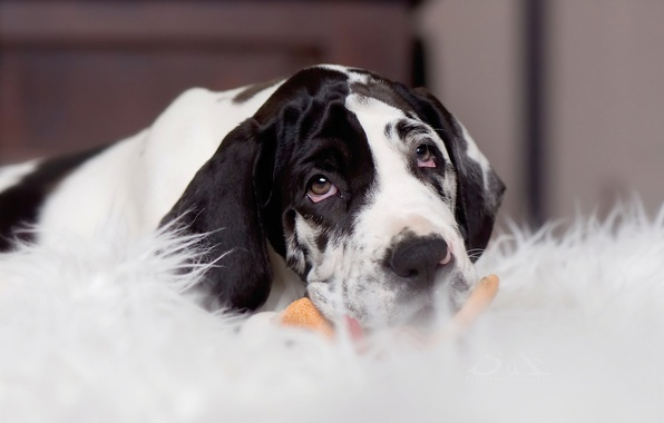 Картинка взгляд, собака, щенок, мордашка, Немецкий дог