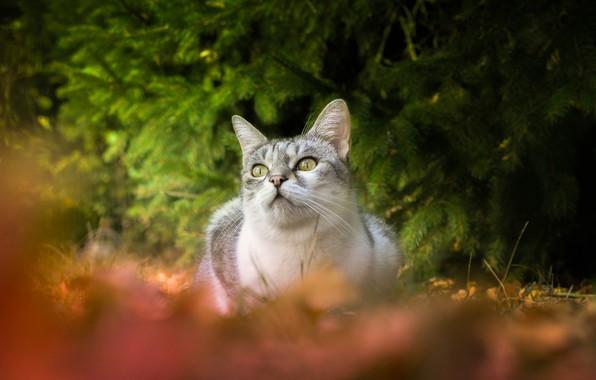 Картинка кошка, взгляд, боке, еловые ветки