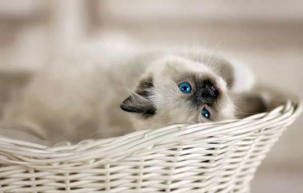 Картинка взгляд, корзина, малыш, котёнок, голубые глаза, боке, Рэгдолл