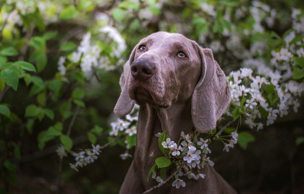 Картинка зелень, взгляд, морда, листья, цветы, ветки, природа, фон, листва, портрет, собака, весна, сад, серая, цветение, …