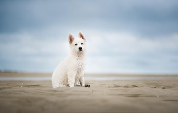 Картинка песок, небо, собака, щенок, боке