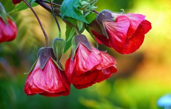 Картинка цветок, красный, ветка, бутоны, Chinese Lantern