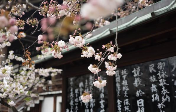 Картинка иероглифы, храм, Japan, сакура весна