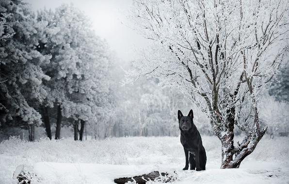 Картинка зима, снег, деревья, природа, собака, Немецкая овчарка