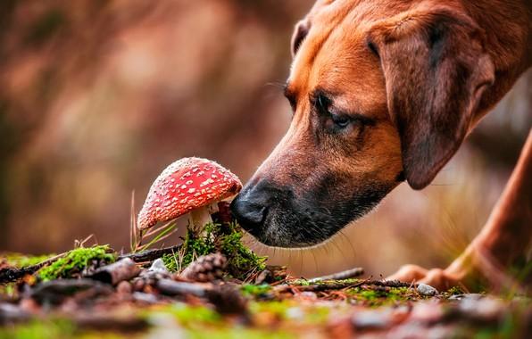 Картинка морда, природа, гриб, мох, собака, мухомор, боке