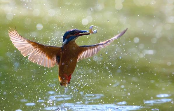 Картинка вода, свет, птица, крылья, боке, зимородок, улов