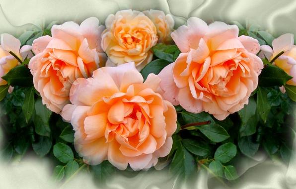 Картинка цветок, лето, природа, настроение, роза, розы, красота, rose, flower, красивые, flowers, beautiful, beauty, harmony, cool, …