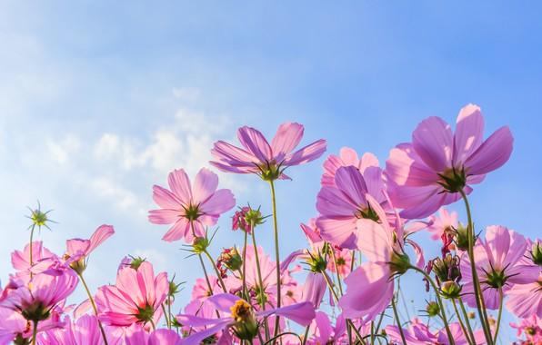Картинка поле, лето, солнце, цветы, summer, розовые, field, pink, flowers, cosmos